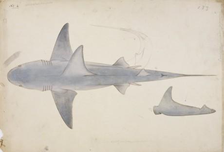 Japanse tekening van een Haai