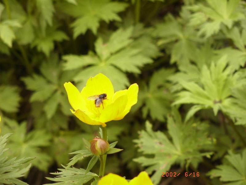 054黑岳花