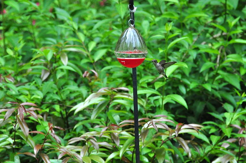 The hummingbird comes in to the feeder all day long, and each time it makes me happy like someone gave me money.