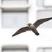 Urban Peregrine Falcon, Manchester, 8th June 2012 CR 2012