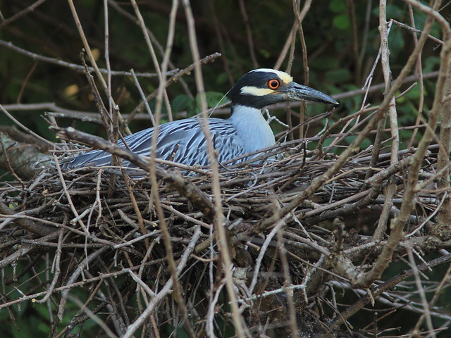 Yellow-crowned Night-Heron Nest 9-HT 2nd pair incubationg 20120610