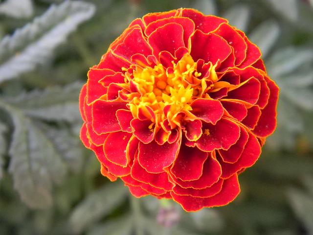 flor roja centro amarillo