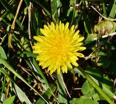 61112-179, Dandelion Blossom
