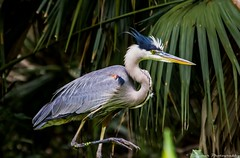 animal, wing, nature, fauna, heron, pelecaniformes, beak, bird, wildlife,