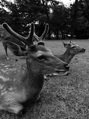 The sitting bucks@Nara Park.