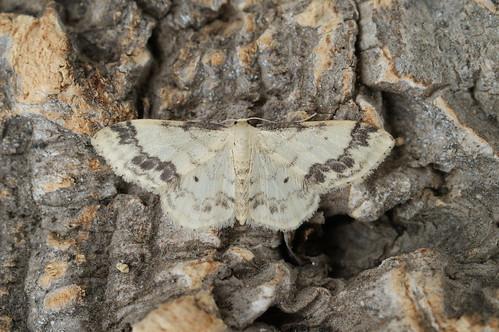 Treble Brown Spot (Idaea trigeminata)