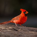 Northern Cardinal by bayou_josh