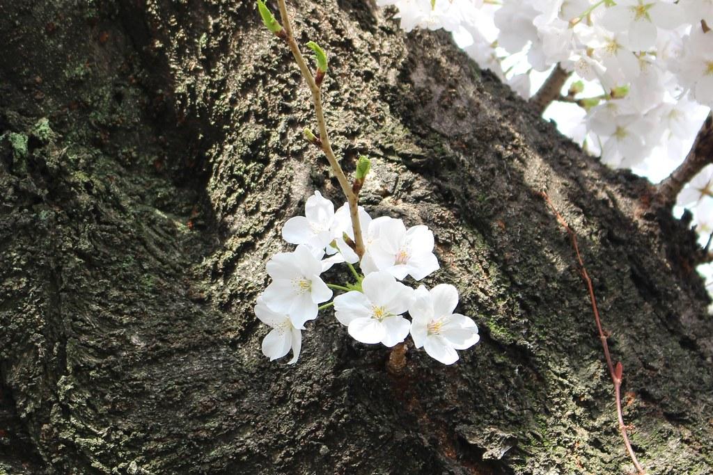 sakura2014(桜)