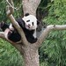 Bao Bao loves her tree! by RoxandaBear