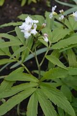 CARDAMINE heptaphylla 'Big White'