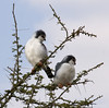 Pygmy Falcons Serengeti 33361 by Al Greening