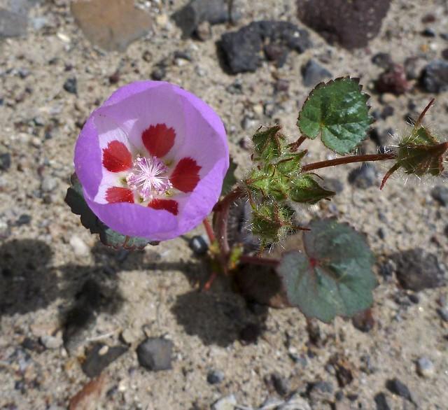 desert fivespot