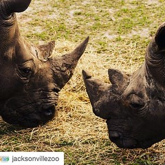 #Repost @jacksonvillezoo・・・Happy Cinco de Rhino! With only five species of rhinos left in the wild, we need to raise a glass to @rhinosirf and their work in rhino conservation. #rhinos #cincodemayo #cincoderhino #margaritas #megafauna #conservation #graci