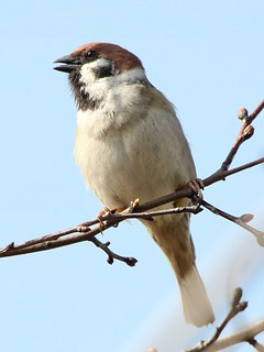 Tree Sparrow Singing