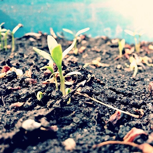 welcome, cilantro. #worldofseeds