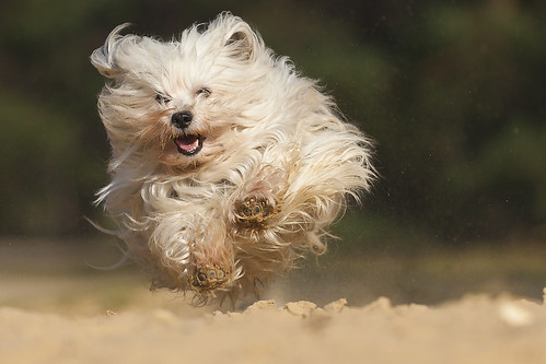 Flying Hiro [Havanese]
