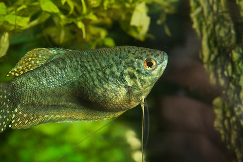 Male gourami