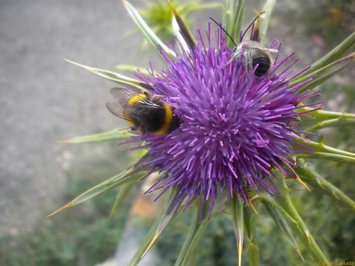 "Naturaleza: abejorros sobre flor de cardo..., ""abejorro común"" (Bombus terrestris)"