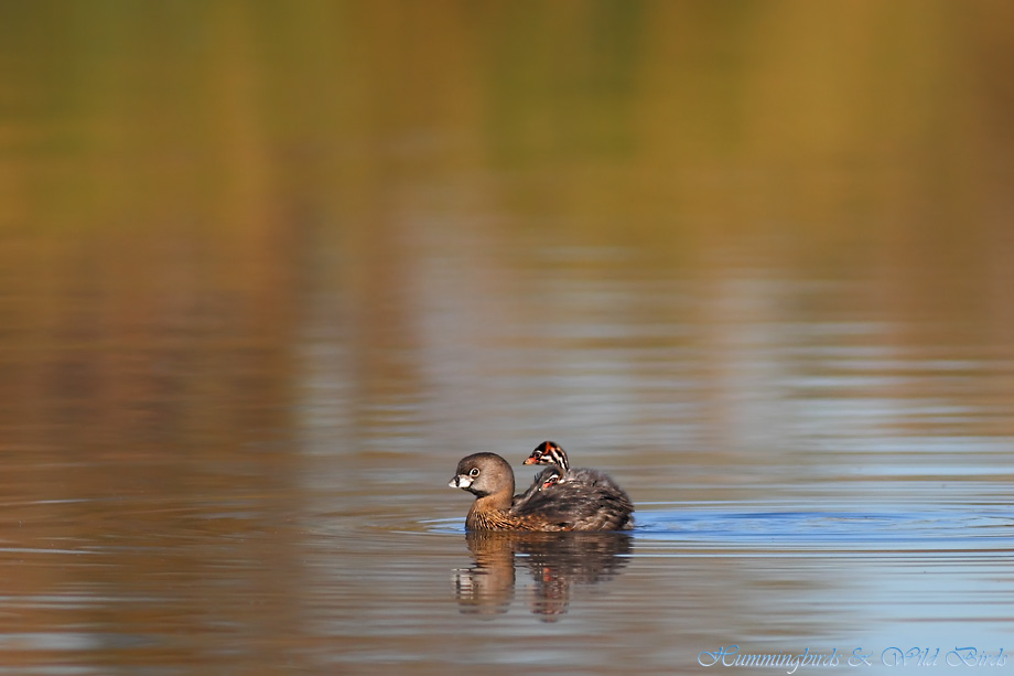 Pied-billed Grebe 122511-6