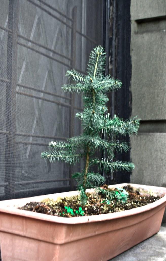 20120410-Blue Spruce Window DSC_1004