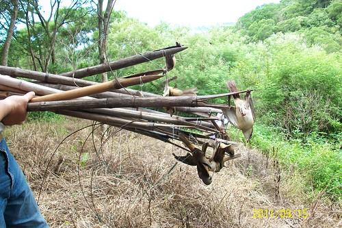 強力執法是紅尾伯勞保育致勝關鍵。圖為2011年9月15日屏東林管處查獲鳥仔踏及誤入陷阱的紅尾伯勞。(圖片來源:屏東林管處)