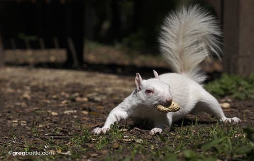 Snowdrop The White Squirrel