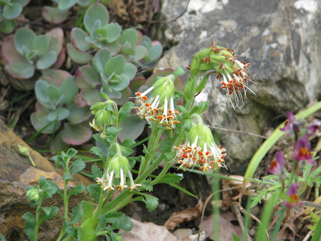 Glumicalyx flanaganii