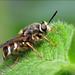 Stratiomys badia (soldier fly, Stratiomyidae)