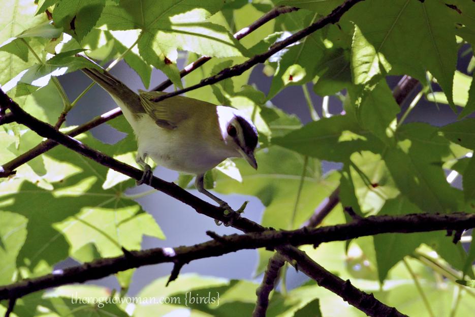 053012_02_bird_RedEyedVireo