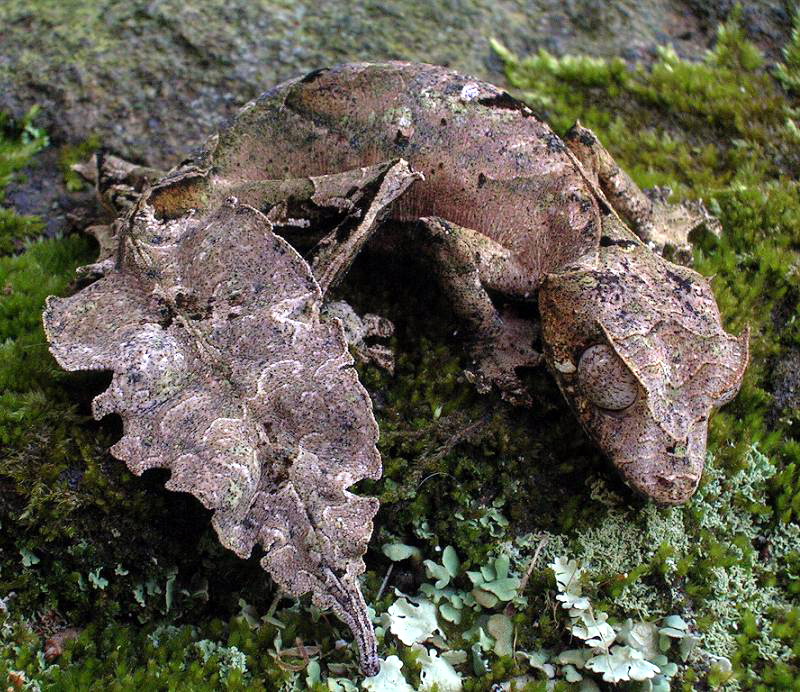 Satanic leaf tailed gecko with flying fox wings