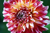 Red and White Dahlia by j man.