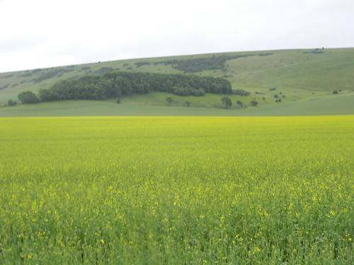 Giant rapefield against the downs