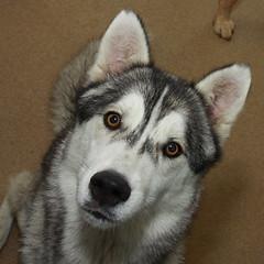 Adopted! Husky