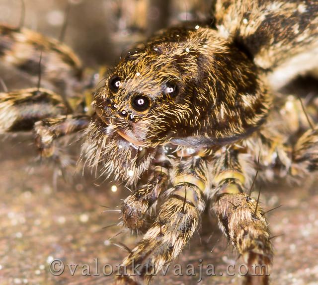 Makrokuvaus - hämähäkki