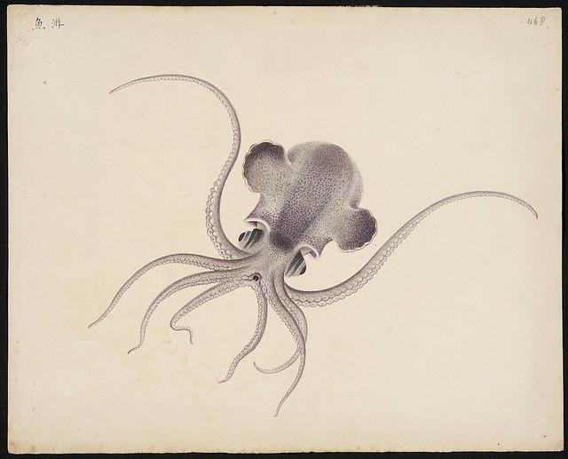 inktvis Euprimna morsei (Verrill, 1881)