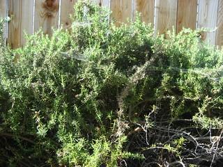IMG_0923 - 2012 P52 Week 17 - Awful - Cobwebs In The Rosemary