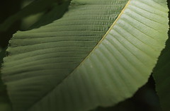 Japanese horse chestnut / Aesculus turbinata / 栃の木(トチノキ)