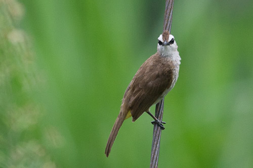 Yellow-vented Bulbul with attitude
