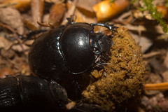 ant(0.0), japanese rhinoceros beetle(0.0), membrane-winged insect(0.0), arthropod(1.0), scarabs(1.0), animal(1.0), soil(1.0), nature(1.0), invertebrate(1.0), insect(1.0), macro photography(1.0), fauna(1.0), dung beetle(1.0), close-up(1.0), ground beetle(1.0), wildlife(1.0),