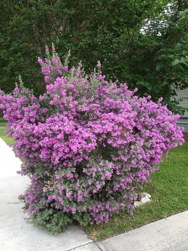 Purple sage bush 4