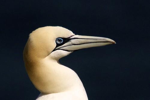 Gannet Profile