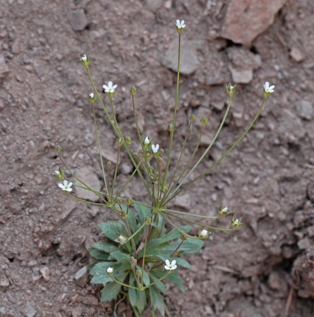 Pygmy Flower Rock Jasmine Plants Of Stagecoach State Park