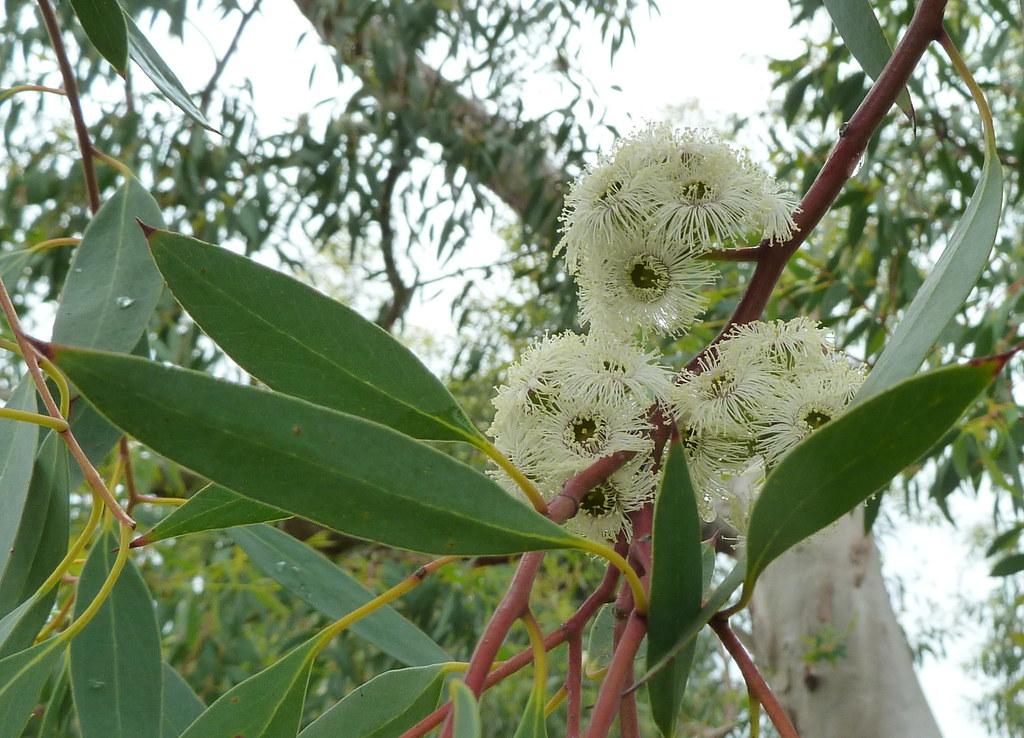 20120531_UBCBG_EucalyptusCoccifera_Cutler_P1240447