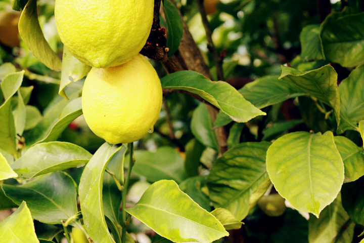 italian sunday lemons