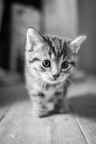 [フリー画像素材] 動物 1, 猫・ネコ, 子猫・小猫, モノクロ ID:201206081600