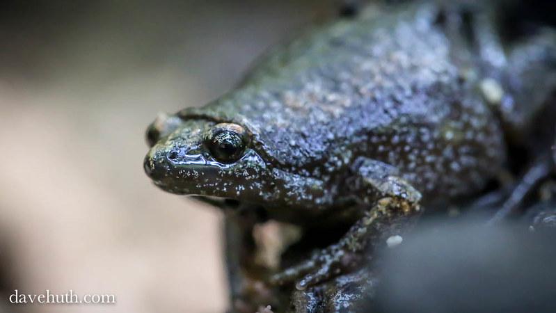 Eastern Narrowmouth Toad (Gastrophryne carolinensis) profile portrait