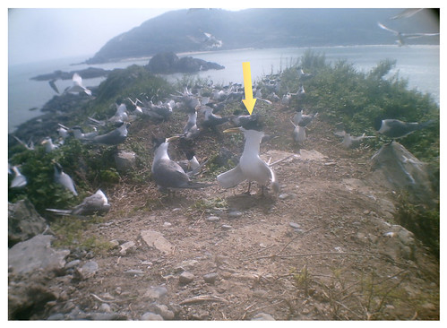 1010524(8點30分)鳳頭燕鷗族群快速增加並可看出其在求偶