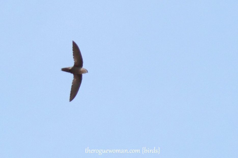 053012_02_bird_chimmneySwift