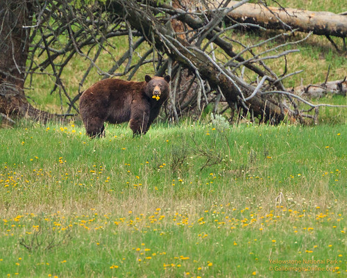 Flower Child (Black Bear in Yellowstone) by Mark/MPEG (Midwest Photography Enthusiasts Group)