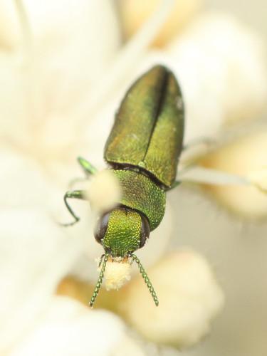 ヒメヒラタタマムシ